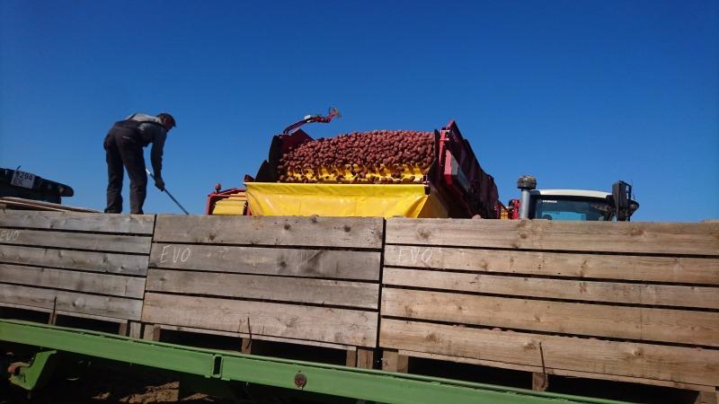 Kombain kartulis - Grimme läks Simunas põldu